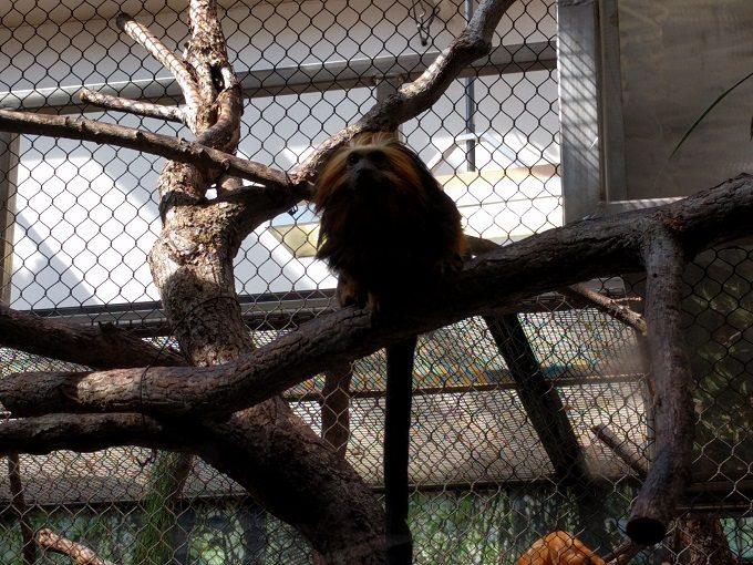11 - Tamarin Monkey