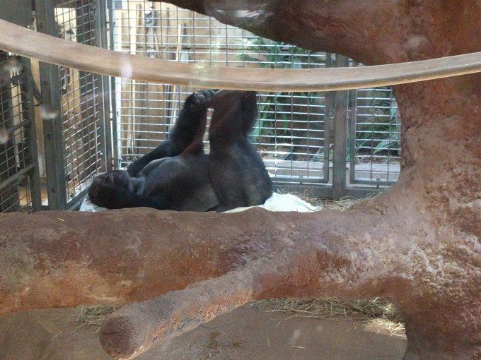15 - Lowland Gorilla