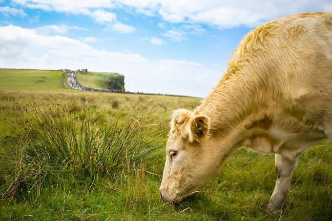 Cow grazing at the Cliffs of Moher, Ireland