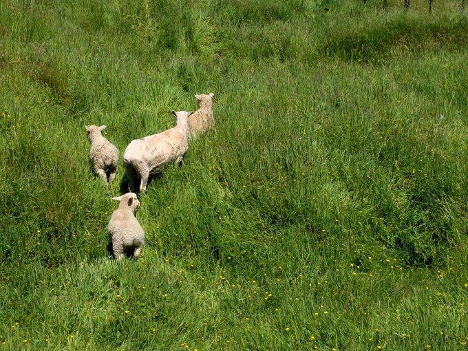 8 - Watch families of sheep bounding through the fields