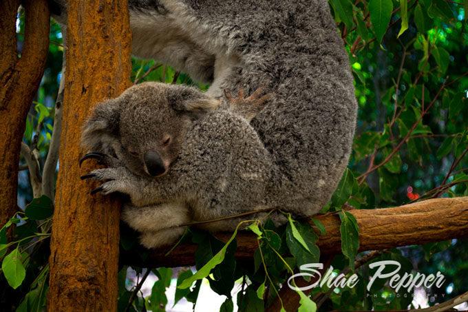 Baby koala at Lone Pine Koala Sanctuary