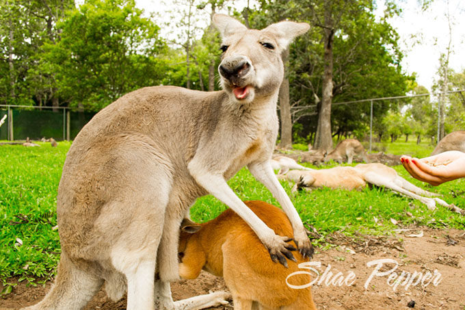 Joey getting into a kangaroo's pouch