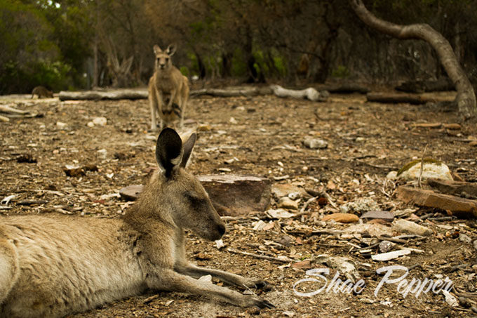 Kangaroos at the Australia Walkabout Wildlife Park