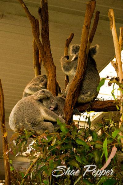 Lone Pine Koala Sanctuary snuggle time