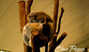 Cuddled By Koalas At Lone Pine Koala Sanctuary