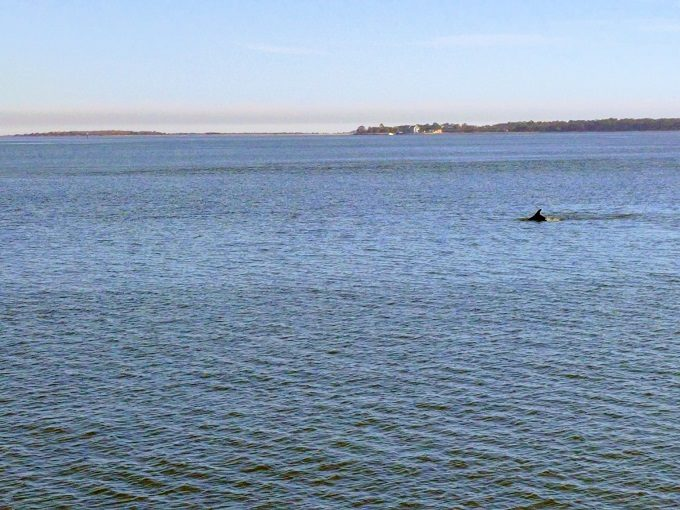 A dolphin guiding us to Fort Sumter