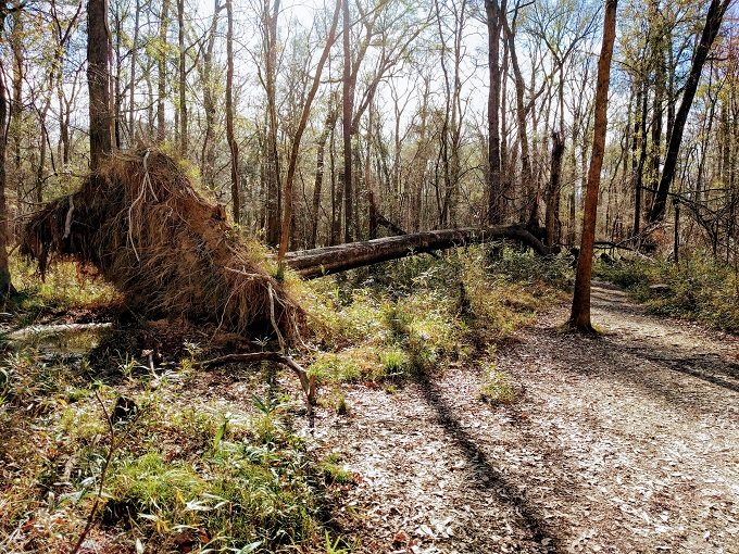 Fallen over tree at Congaree National Park